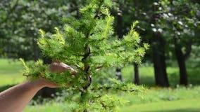 Zamknięta scena mężczyzna ręk opieki rżniętych bonsai modrzewiowy drzewo zbiory