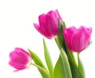 zamknięte menchie zamknięty trzy tulipanu Fotografia Royalty Free