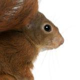 zamkniętego eurasian czerwona wiewiórka czerwony zdjęcia royalty free