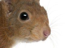 zamkniętego eurasian czerwona wiewiórka czerwony zdjęcie royalty free