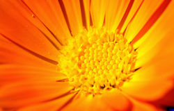 zamkniętego kwiatu złoty up obraz stock