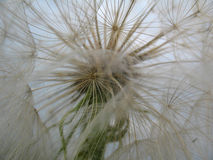 zamkniętej dandelion kwiatu zieleni naturalna fotografia w górę biel Zdjęcie Royalty Free