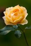 zamkniętej ostrości noc pomarańcze róży selekcyjny up Zdjęcia Royalty Free