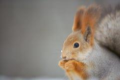 zamknięty łasowanie zamknięta wiewiórka obrazy stock