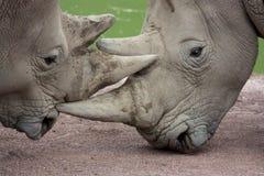 zamknięty całowanie zamknięta nosorożec Obrazy Royalty Free