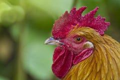 zamknięty cockerel zamknięty portret Zdjęcia Stock