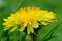 zamknięty dandelion zamknięty kwiat Zdjęcia Stock