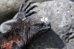 zamknięty Galapagos iguany wysp żołnierz piechoty morskiej zamknięty Obraz Royalty Free