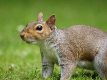 zamknięty grey zamknięta wiewiórka Obraz Royalty Free