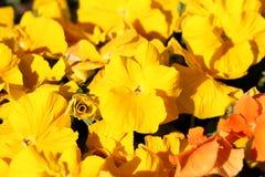 Zamknięty i w pełni otwarty Dziki pansy lub altówka tricolor mali dzicy kwiaty z jaskrawymi żółtymi płatkami gęsto zasadzającymi  zdjęcia royalty free
