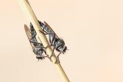 zamknięty krańcowy lata insekty inny drapieżnika inny rabuś Fotografia Royalty Free