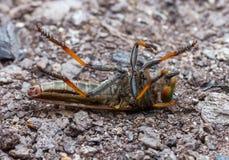 zamknięty krańcowy lata insekty inny drapieżnika inny rabuś obraz royalty free