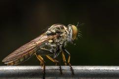 zamknięty krańcowy lata insekty inny drapieżnika inny rabuś Zdjęcie Stock