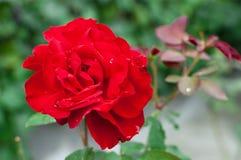 zamknięty kwiat wzrastał zamknięty Obraz Royalty Free
