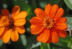 zamknięty kwiat zamknięta pomarańcze Fotografia Stock
