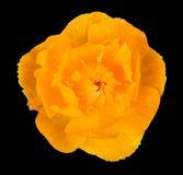 zamknięty kwiat zamknięta pomarańcze Obraz Royalty Free