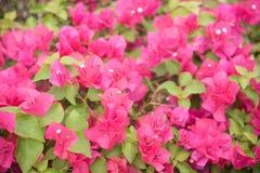 zamknięty kwiat zamknięte menchie Fotografia Royalty Free