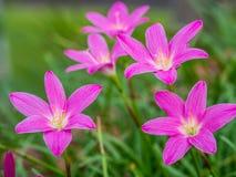 zamknięty kwiat zamknięte menchie obraz royalty free