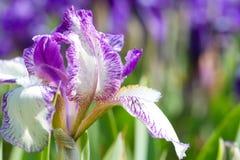 zamknięty kwiatu zamknięty irys Fotografia Royalty Free