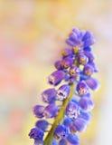 zamknięty kwiatu zamknięty muscari Obrazy Royalty Free