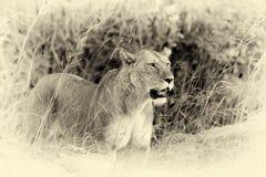Zamknięty lew w parku narodowym Kenja Rocznika skutek obraz royalty free