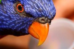 zamknięty lory zamknięta papuga Fotografia Royalty Free