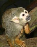zamknięty małpy zamknięta wiewiórka Fotografia Stock