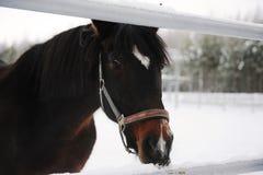 Zamknięty portret brown koń na tle zima monochromu krajobraz Obrazy Stock