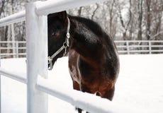 Zamknięty portret brown koń na tle zima monochromu krajobraz Obrazy Royalty Free