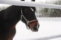 Zamknięty portret brown koń na tle zima monochromu krajobraz Fotografia Royalty Free