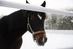 Zamknięty portret brown koń na tle zima monochromu krajobraz Obraz Royalty Free