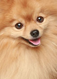 zamknięty portreta szczeniaka spitz zamknięty Zdjęcia Royalty Free
