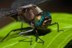 zamknięty pospolity wężowy dragonfly wężowy Fotografia Stock