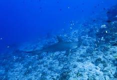 Zamknięty Profilowy Hammerhead rekin nad rafą Fotografia Royalty Free