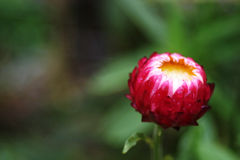 Zamknięty różowy strawflower Obrazy Stock