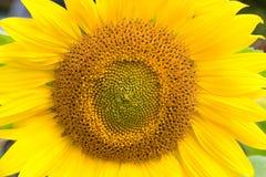zamknięty słonecznik Obraz Royalty Free