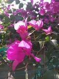 Zamknięty stuknięcie menchia kwiat obrazy stock