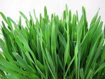zamknięty trawy zamknięta zieleń Zdjęcia Royalty Free