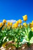 Zamknięty widok żółci tulipany w świetle słonecznym podczas dnia fotografia stock