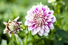 Zamknięty widok biała menchia kwitnie dalii Obraz Royalty Free