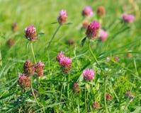Zamknięty widok Czerwona koniczyna (Trifolium pratense) Fotografia Stock