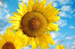 Zamknięty widok dwa słonecznika na tle niebieskie niebo Zdjęcia Royalty Free