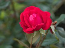 Zamknięty widok rewolucjonistki róża - rozmaitość nokaut obraz royalty free