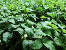 Zamknięty widok truskawkowy pole z kwitnieniem kwitnie zdjęcia stock