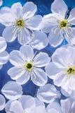 zamknięty zamknięci wiśnia kwiaty obraz royalty free