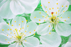 zamknięty zamknięci wiśnia kwiaty obrazy stock