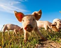 zamknięty zamknięta świnia Zdjęcie Royalty Free