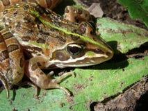 zamknięty zamknięta żaba Obrazy Royalty Free