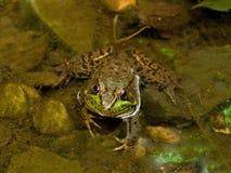 zamknięty zamknięta żaba Zdjęcia Royalty Free