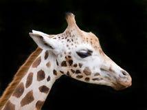 zamknięty zamknięta żyrafa Zdjęcia Royalty Free